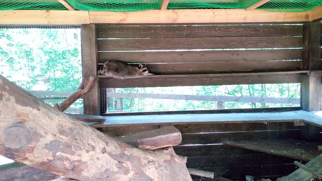 Енот в зоопарке