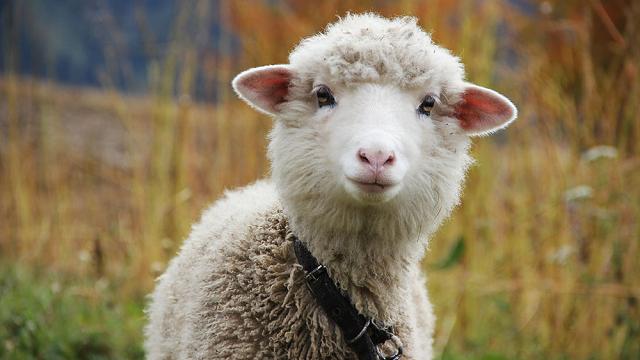 Глупая овечка, которая не поддаётся счёту